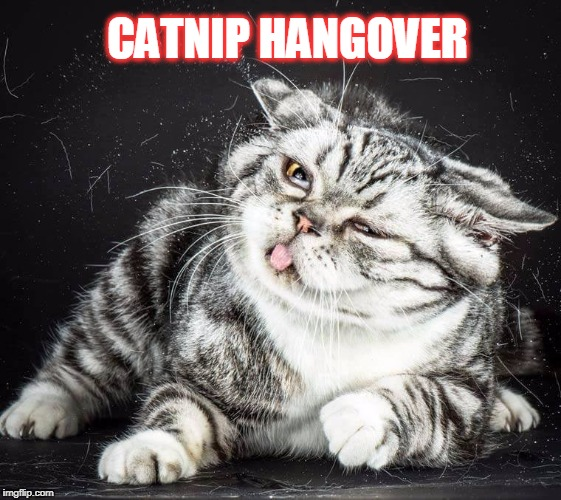 too much catnip | CATNIP HANGOVER | image tagged in catnip,cats | made w/ Imgflip meme maker