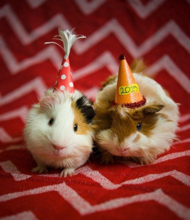 guinea pig birthday Blank Template - Imgflip