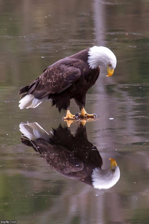 Eagle's Reflection | image tagged in eagle's reflection | made w/ Imgflip meme maker
