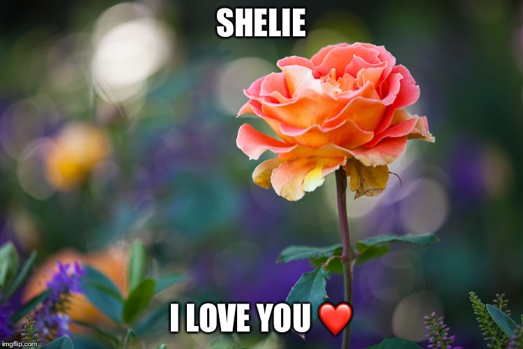 Roses | SHELIE I LOVE YOU ❤️ | image tagged in roses | made w/ Imgflip meme maker