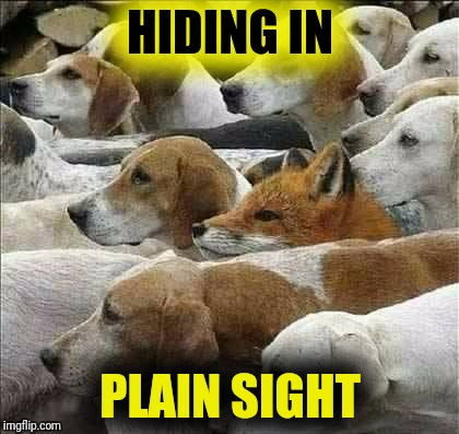 Fox and Foxhounds | HIDING IN PLAIN SIGHT | image tagged in fox and foxhounds | made w/ Imgflip meme maker