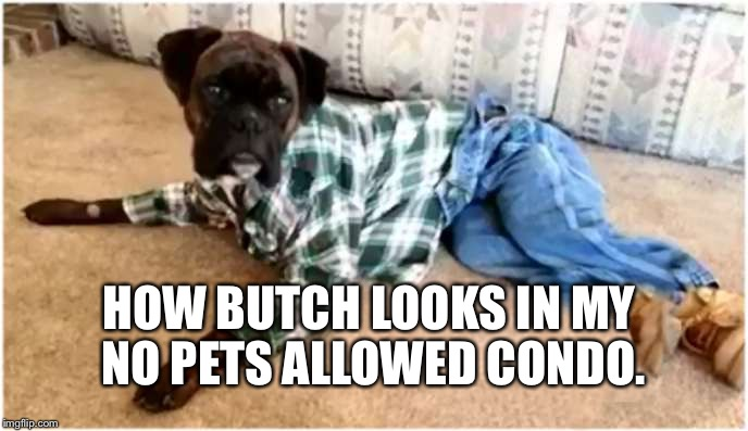 HOW BUTCH LOOKS IN MY NO PETS ALLOWED CONDO. | image tagged in tommy mac dog | made w/ Imgflip meme maker