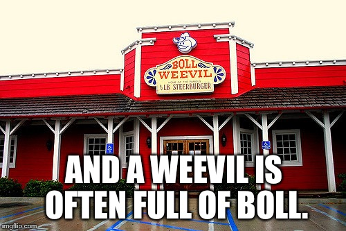 AND A WEEVIL IS OFTEN FULL OF BOLL. | image tagged in boll weevil | made w/ Imgflip meme maker