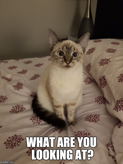 I wonder what she is thinking | WHAT ARE YOU LOOKING AT? | image tagged in cats,memes | made w/ Imgflip meme maker