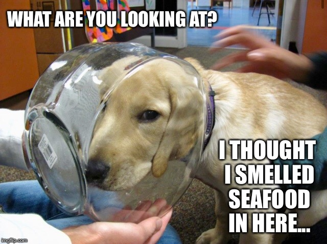poor puppy! | WHAT ARE YOU LOOKING AT? I THOUGHT I SMELLED SEAFOOD IN HERE... | image tagged in dog,puppy,seafood,fish,head,stuck | made w/ Imgflip meme maker