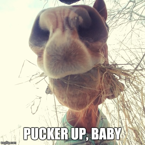 Horse love | PUCKER UP, BABY | image tagged in horse face | made w/ Imgflip meme maker