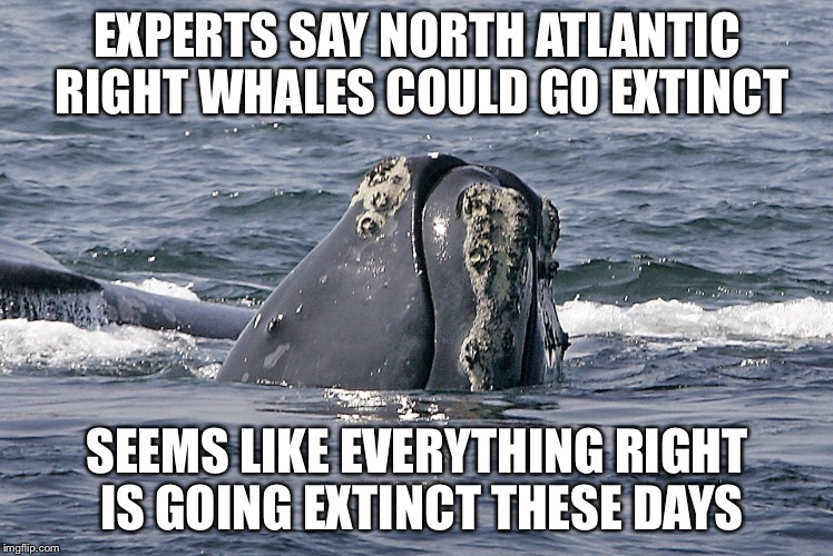 So True | EXPERTS SAY NORTH ATLANTIC RIGHT WHALES COULD GO EXTINCT SEEMS LIKE EVERYTHING RIGHT IS GOING EXTINCT THESE DAYS | image tagged in memes,whales,extinction,evolution | made w/ Imgflip meme maker