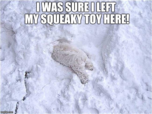 Where's my squeaker? | I WAS SURE I LEFT MY SQUEAKY TOY HERE! | image tagged in funny polar bear,lost squeaky toy | made w/ Imgflip meme maker