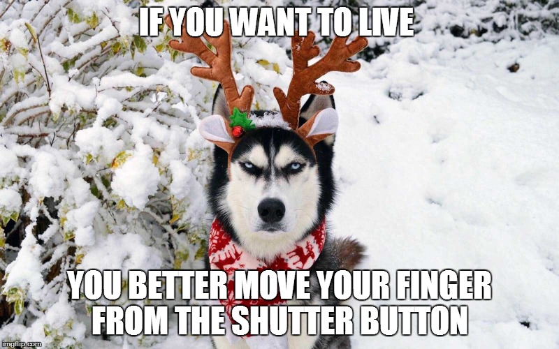IF YOU WANT TO LIVE YOU BETTER MOVE YOUR FINGER FROM THE SHUTTER BUTTON | image tagged in festive angry husky | made w/ Imgflip meme maker