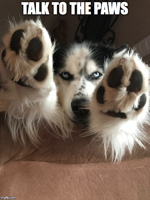Talk to the Paws! | TALK TO THE PAWS | image tagged in husky,paws,feet,in your face,stop,no | made w/ Imgflip meme maker