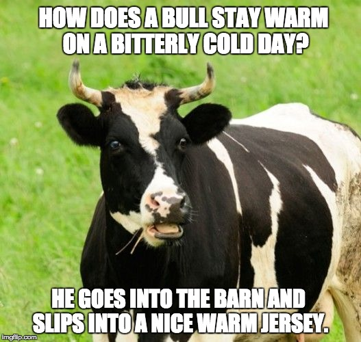 Yesterday, at my home, we recorded -26 degrees with no end in sight for this cold snap. | HOW DOES A BULL STAY WARM ON A BITTERLY COLD DAY? HE GOES INTO THE BARN AND SLIPS INTO A NICE WARM JERSEY. | image tagged in cows | made w/ Imgflip meme maker
