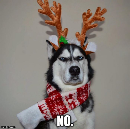 NO. | image tagged in non-amused husky | made w/ Imgflip meme maker