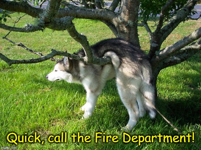 Out On A Limb | Quick, call the Fire Department! | image tagged in dogs,funny dogs,husky,huskies | made w/ Imgflip meme maker