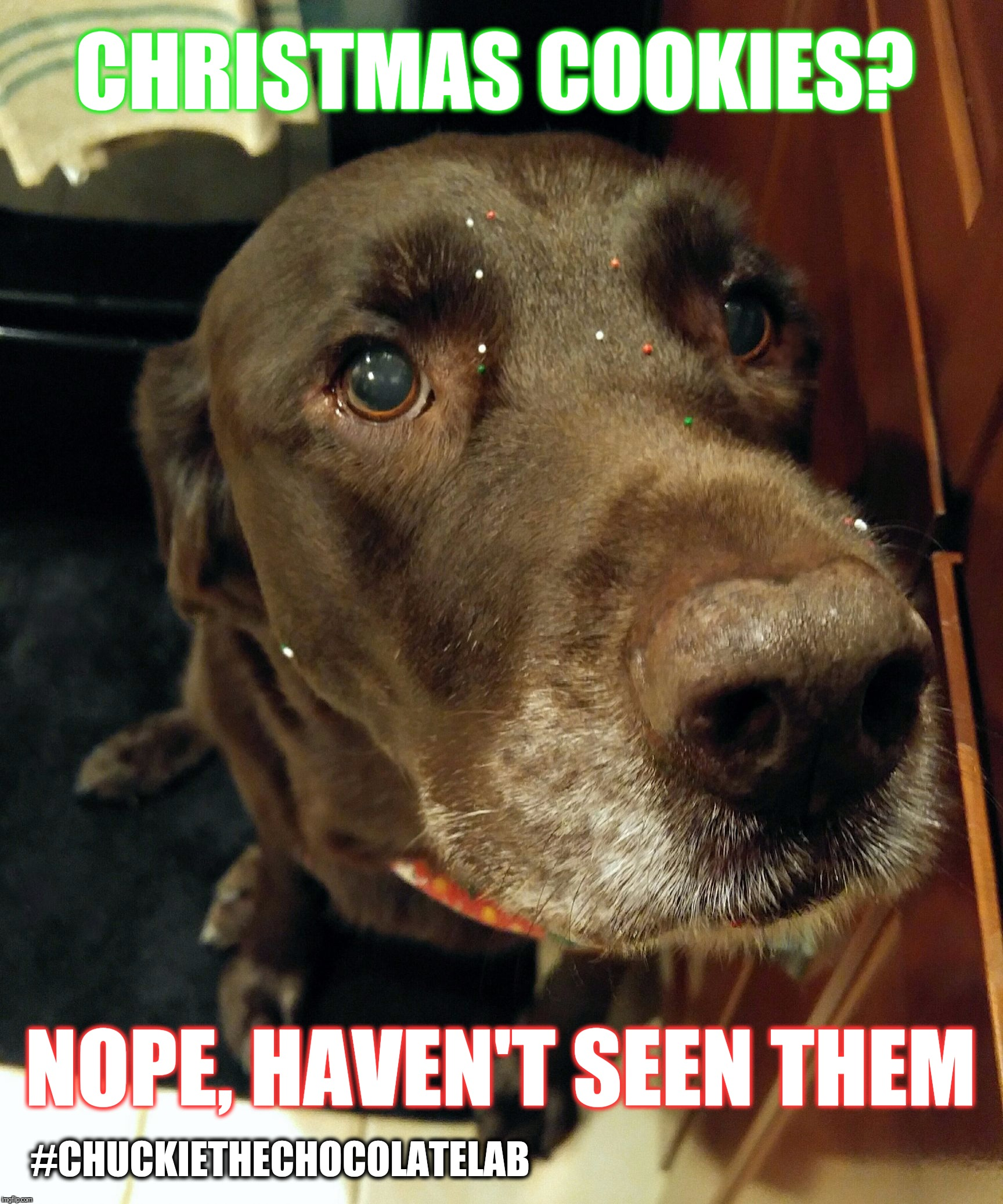 Christmas cookies?  | CHRISTMAS COOKIES? NOPE, HAVEN'T SEEN THEM #CHUCKIETHECHOCOLATELAB | image tagged in chuckie the chocolate lab teamchuckie,dogs,funny,memes,christmas,holidays | made w/ Imgflip meme maker