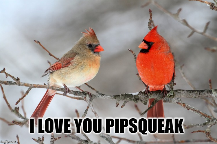 I LOVE YOU PIPSQUEAK | image tagged in love,birds,cardinals | made w/ Imgflip meme maker
