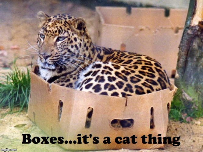 Any Cat, Any Box | image tagged in cats,leopard,funny cats | made w/ Imgflip meme maker