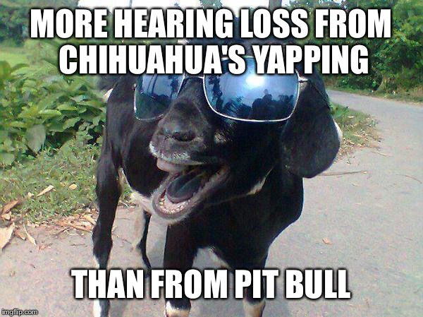 MORE HEARING LOSS FROM CHIHUAHUA'S YAPPING THAN FROM PIT BULL | made w/ Imgflip meme maker