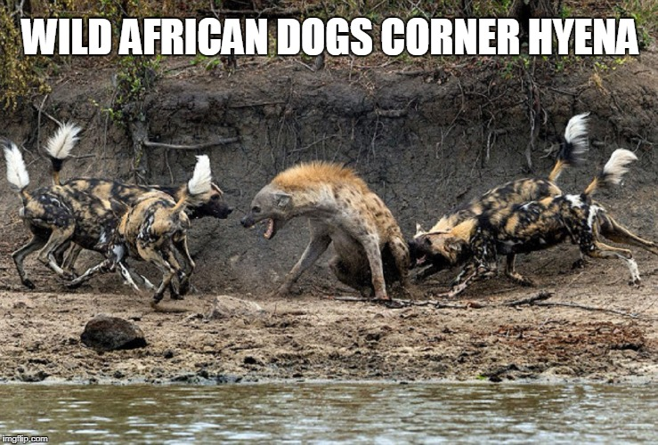 No Laughing Matter | WILD AFRICAN DOGS CORNER HYENA | image tagged in laughing hyena,vince vance,wild african dogs,tufted tails | made w/ Imgflip meme maker