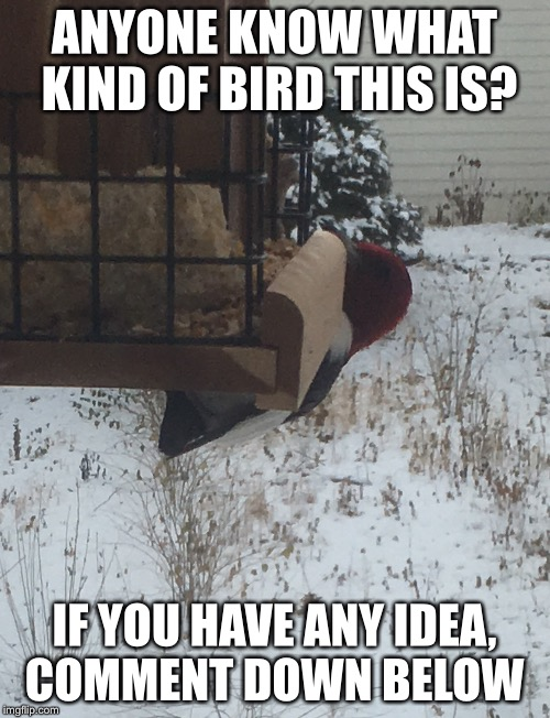 Bird in Winter  | ANYONE KNOW WHAT KIND OF BIRD THIS IS? IF YOU HAVE ANY IDEA, COMMENT DOWN BELOW | image tagged in birds,winter,nebraska | made w/ Imgflip meme maker