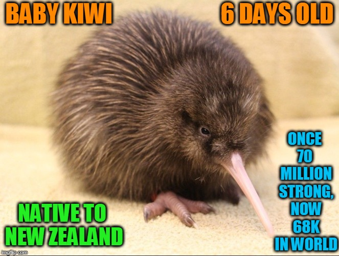 Rowi Kiwi are Rarest Species of Kiwi Worldwide | BABY KIWI                        6 DAYS OLD ONCE 70  MILLION STRONG, NOW 68K IN WORLD NATIVE TO NEW ZEALAND | image tagged in kiwi,vince vance,new zealand,rowi,maori,baby animal memes | made w/ Imgflip meme maker