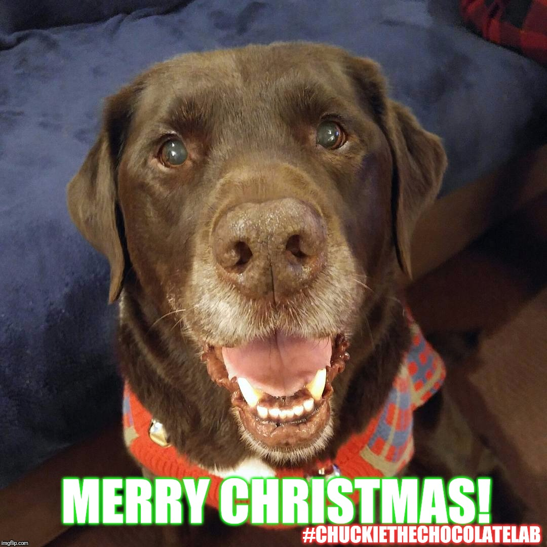Merry Christmas!  | MERRY CHRISTMAS! #CHUCKIETHECHOCOLATELAB | image tagged in chuckie the chocolate lab teamchuckie,dogs,memes,christmas,merry christmas,labrador | made w/ Imgflip meme maker