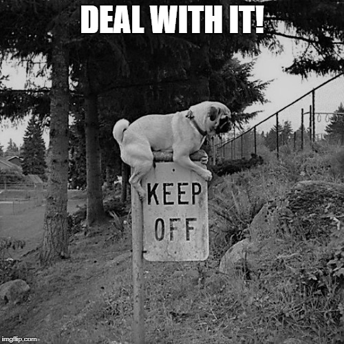Pug Life | DEAL WITH IT! | image tagged in memes,meme,funny,pugs,deal with it | made w/ Imgflip meme maker