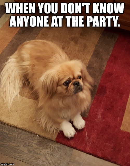 Your face when you don't know anyone at the party.  | WHEN YOU DON'T KNOW ANYONE AT THE PARTY. | image tagged in introvert,social anxiety dog,pekingese,party dog | made w/ Imgflip meme maker