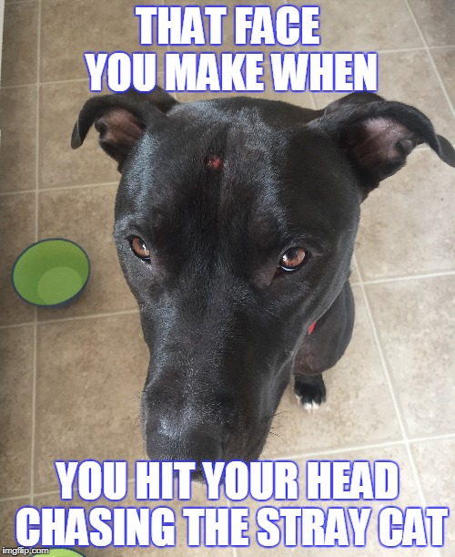 raider | THAT FACE YOU MAKE WHEN YOU HIT YOUR HEAD CHASING THE STRAY CAT | image tagged in cats,chasingcats | made w/ Imgflip meme maker