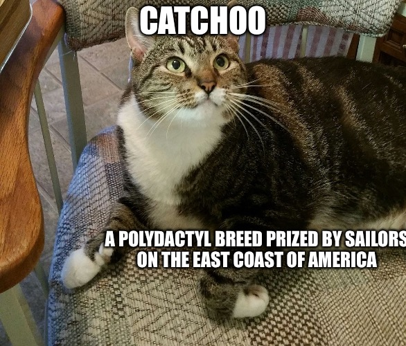 BC  | CATCHOO A POLYDACTYL BREED PRIZED BY SAILORS ON THE EAST COAST OF AMERICA | image tagged in catchoo,cats,warrior cats,business cat | made w/ Imgflip meme maker