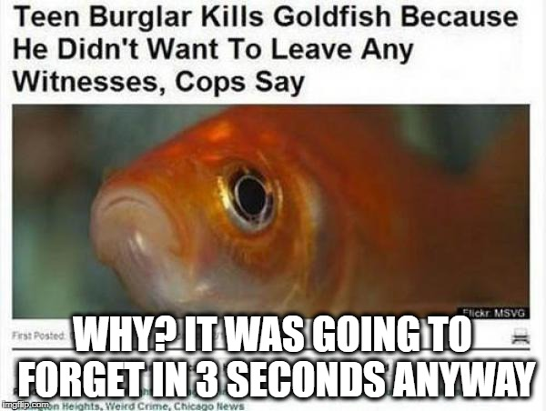 No Witnesses | WHY? IT WAS GOING TO FORGET IN 3 SECONDS ANYWAY | image tagged in goldfish,dumb criminal | made w/ Imgflip meme maker