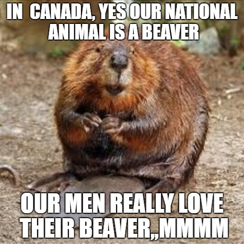 IN  CANADA, YES OUR NATIONAL ANIMAL IS A BEAVER; OUR MEN REALLY LOVE THEIR BEAVER,,MMMM | image tagged in beaver | made w/ Imgflip meme maker