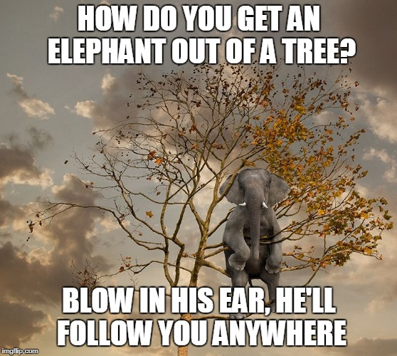 veeeerrrry old joke (paraphrased) :P | HOW DO YOU GET AN ELEPHANT OUT OF A TREE? BLOW IN HIS EAR, HE'LL FOLLOW YOU ANYWHERE | image tagged in elephant in tree,memes,elephant,bad joke | made w/ Imgflip meme maker