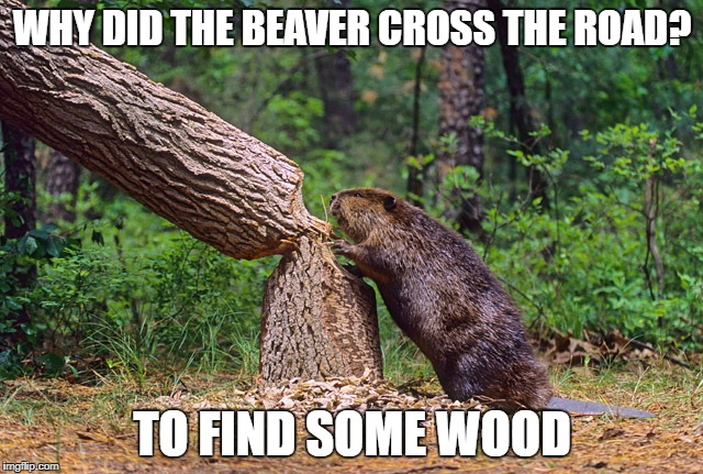 WHY DID THE BEAVER CROSS THE ROAD? TO FIND SOME WOOD | image tagged in beaver | made w/ Imgflip meme maker