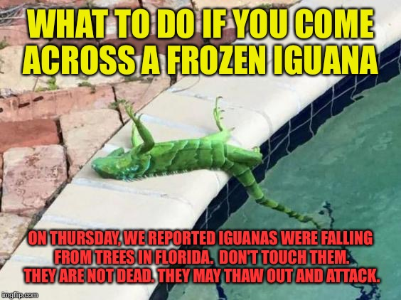 WHAT TO DO IF YOU COME ACROSS A FROZEN IGUANA ON THURSDAY, WE REPORTED IGUANAS WERE FALLING FROM TREES IN FLORIDA.  DON'T TOUCH THEM. THEY A | made w/ Imgflip meme maker