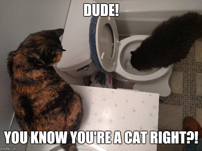 Thomas is a Maine Coon, but he identifies as a Labrador | DUDE! YOU KNOW YOU'RE A CAT RIGHT?! | image tagged in the most interesting cat in the world | made w/ Imgflip meme maker