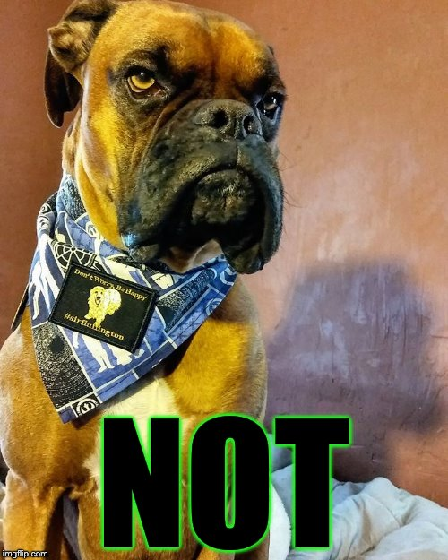 Grumpy Dog | NOT | image tagged in grumpy dog | made w/ Imgflip meme maker