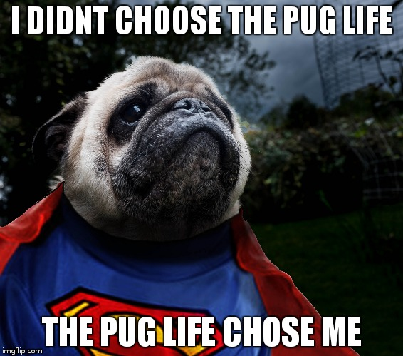 pug of steel | I DIDNT CHOOSE THE PUG LIFE THE PUG LIFE CHOSE ME | image tagged in funny | made w/ Imgflip meme maker