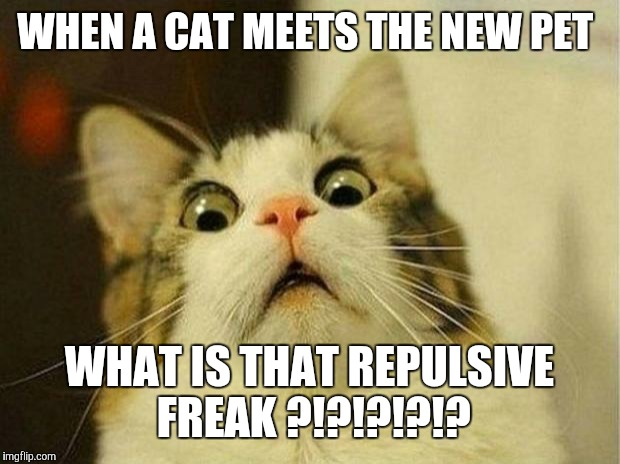 Scared Cat Meme | WHEN A CAT MEETS THE NEW PET WHAT IS THAT REPULSIVE FREAK ?!?!?!?!? | image tagged in memes,scared cat | made w/ Imgflip meme maker