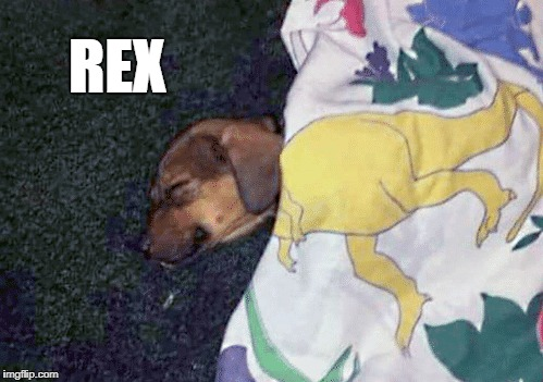 my dog rex | REX | image tagged in puppy | made w/ Imgflip meme maker