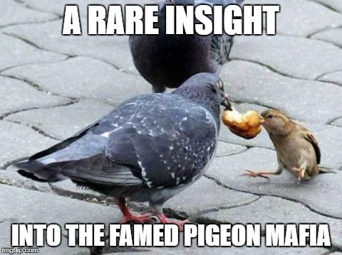 Sparrow wont refuse. Fowl play weekend, Jan. 13-15, an event inspired by the front page. submit anything related to bird sadism! | A RARE INSIGHT INTO THE FAMED PIGEON MAFIA | image tagged in mafia,fowl play week,pigeons | made w/ Imgflip meme maker