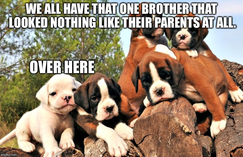WE ALL HAVE THAT ONE BROTHER THAT LOOKED NOTHING LIKE THEIR PARENTS AT ALL. OVER HERE | image tagged in boxer dog,puppy,we all have that one friend | made w/ Imgflip meme maker