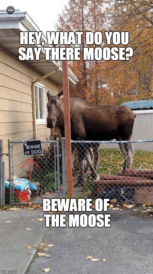 Beware of the moose | HEY, WHAT DO YOU SAY THERE MOOSE? BEWARE OF THE MOOSE | image tagged in moose | made w/ Imgflip meme maker