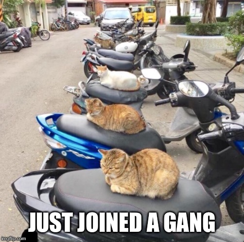 That is true cats gangster lifestyle | JUST JOINED A GANG | image tagged in unbreaklp,cats,bikers,gangster,join me | made w/ Imgflip meme maker