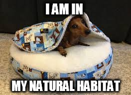 Natural Habitat | I AM IN MY NATURAL HABITAT | image tagged in bork,dachshunds,dog,doggo,snuggle | made w/ Imgflip meme maker