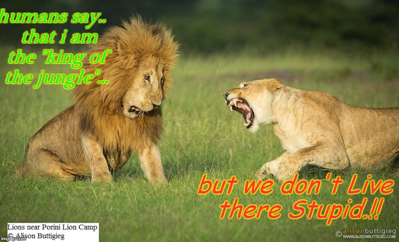 "Lion life | humans say..   that i am the ""king of the jungle""... but we don't Live there Stupid.!! 