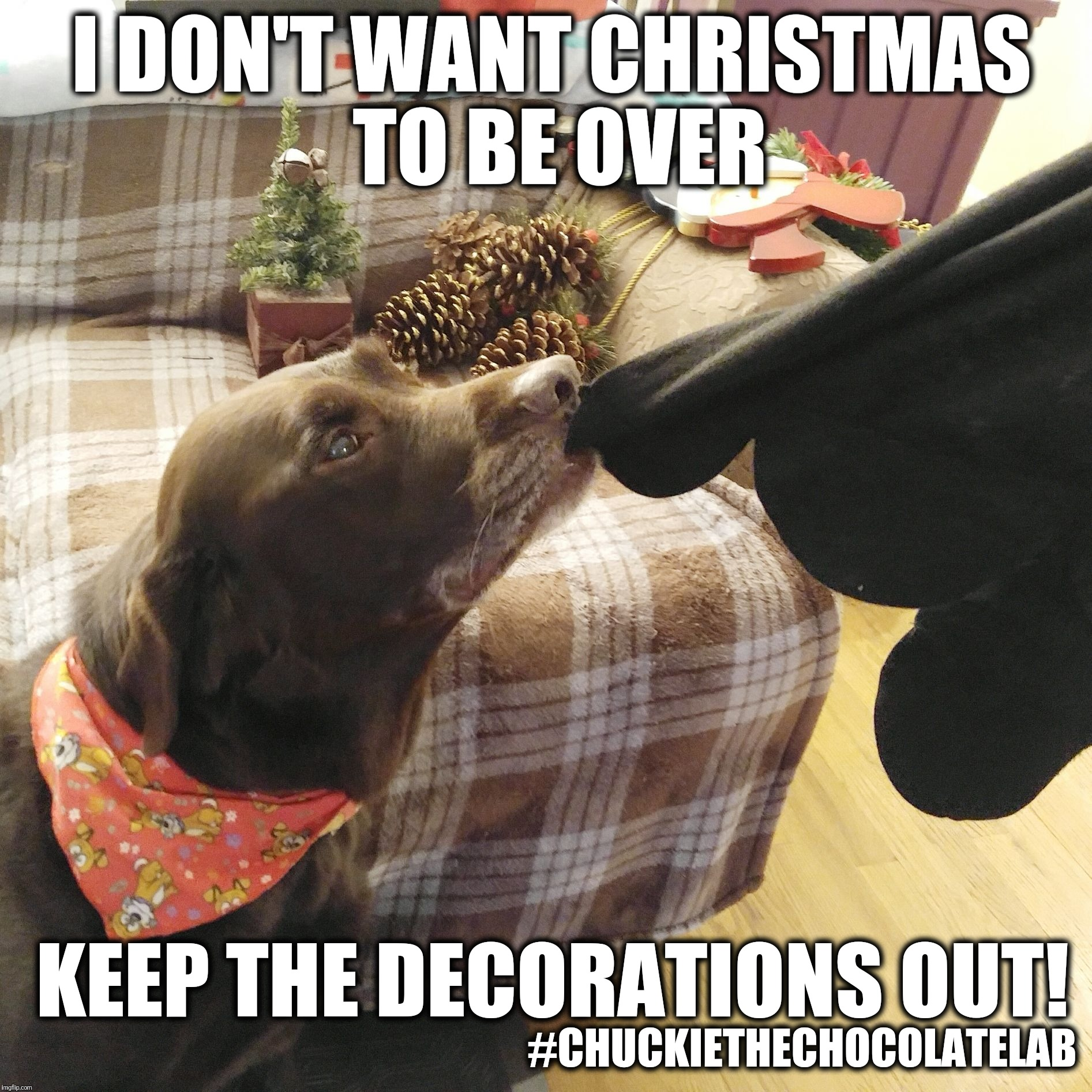 I don't want Christmas to be over | I DON'T WANT CHRISTMAS TO BE OVER #CHUCKIETHECHOCOLATELAB KEEP THE DECORATIONS OUT! | image tagged in chuckie the chocolate lab teamchuckie,christmas,memes,dogs,funny | made w/ Imgflip meme maker