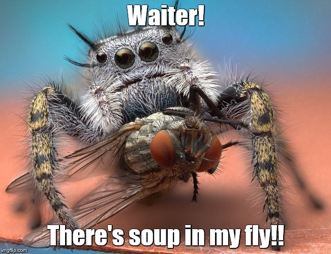 Phidippus mystaceus catches a fly | Waiter! There's soup in my fly!! | image tagged in memes,spiders,soup,flies | made w/ Imgflip meme maker