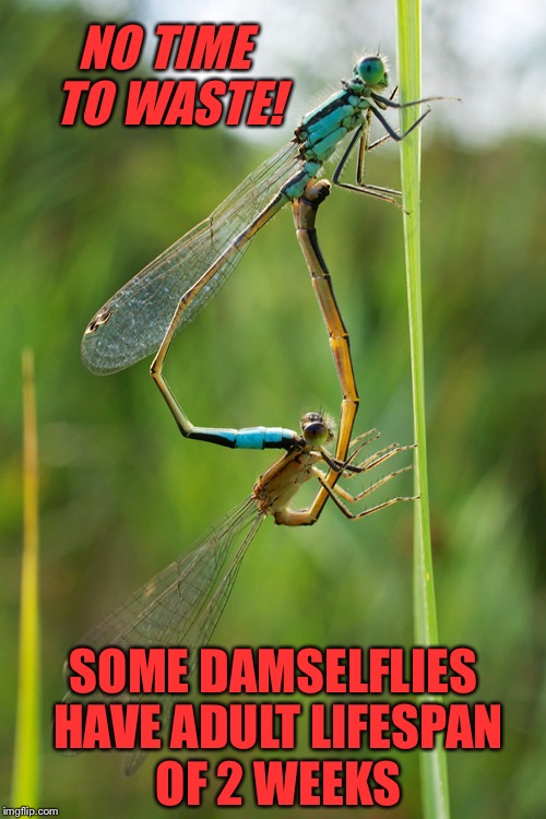 SOME DAMSELFLIES HAVE ADULT LIFESPAN OF 2 WEEKS NO TIME TO WASTE! | made w/ Imgflip meme maker