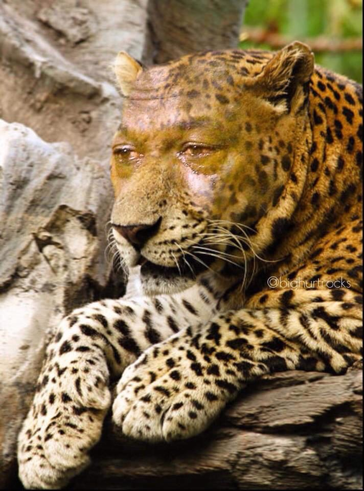 Sad cheetah Blank Template - Imgflip