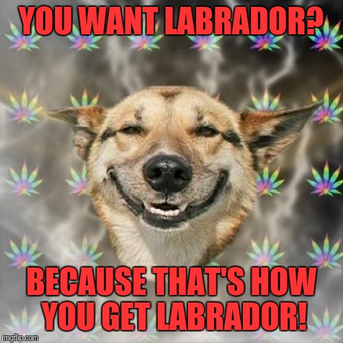 Tommy Chong's stash | YOU WANT LABRADOR? BECAUSE THAT'S HOW YOU GET LABRADOR! | image tagged in memes,stoner dog | made w/ Imgflip meme maker
